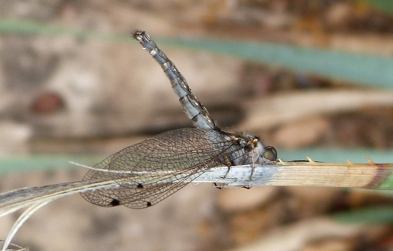 P136UlulodesMacleayanusOwlfly172 May 22, 2014  8:41 a.m.  P1360172 This is a typical posture of an owlfly, and this one is Ululodes macleayanus, our usual one.  Seen at LBJ WC.