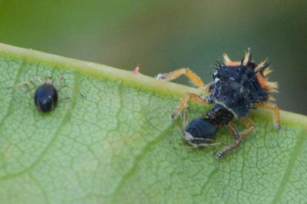 A ladybug larva feeding on a wasp infested aphid.  This aphid didn't feel a thing.  It was already dead from the wasp larva within.