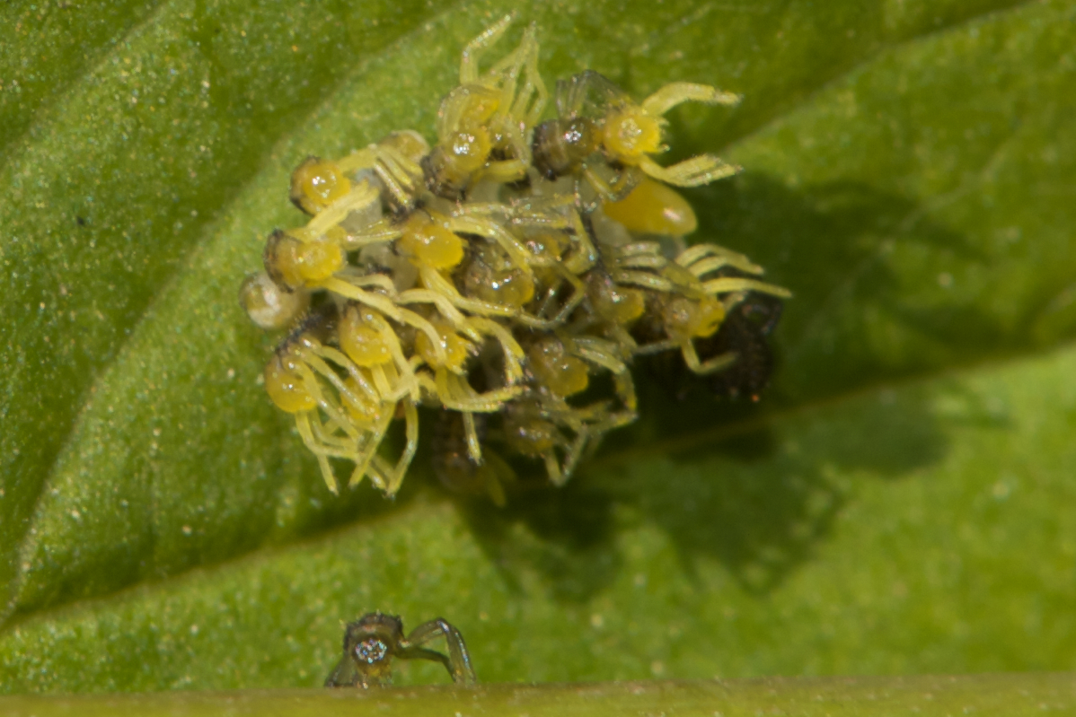 Ladybug larvae emerging from their egg sacks.  Most of the eggs are now hatching and the third born has fallen out of his egg sack and onto the rose stem.