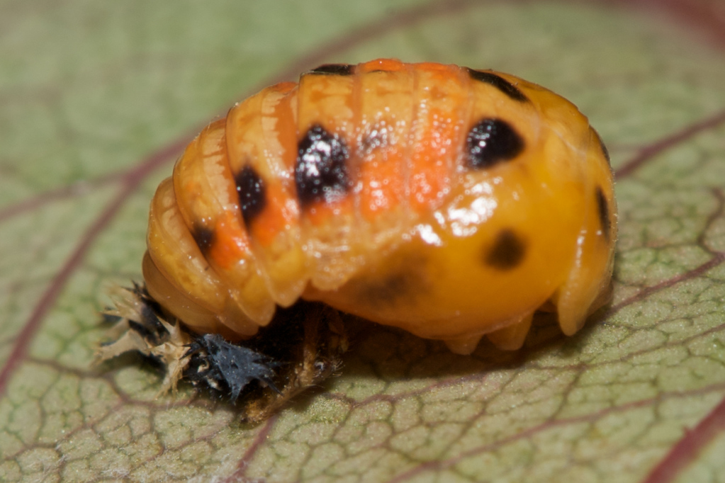 A  ladybug pupa after a few hours of exposure to the air.  It's taken on the colors of a typical ladybug pupa.