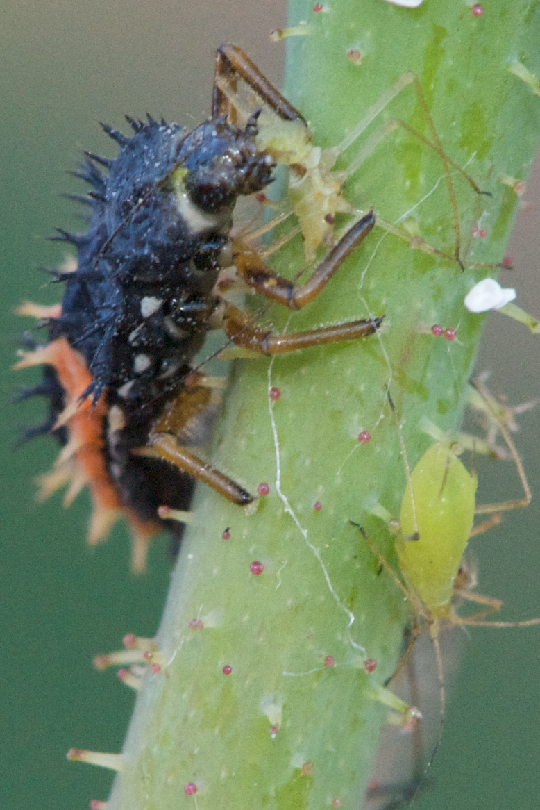 Ladybug larva eating an aphid - almost done.