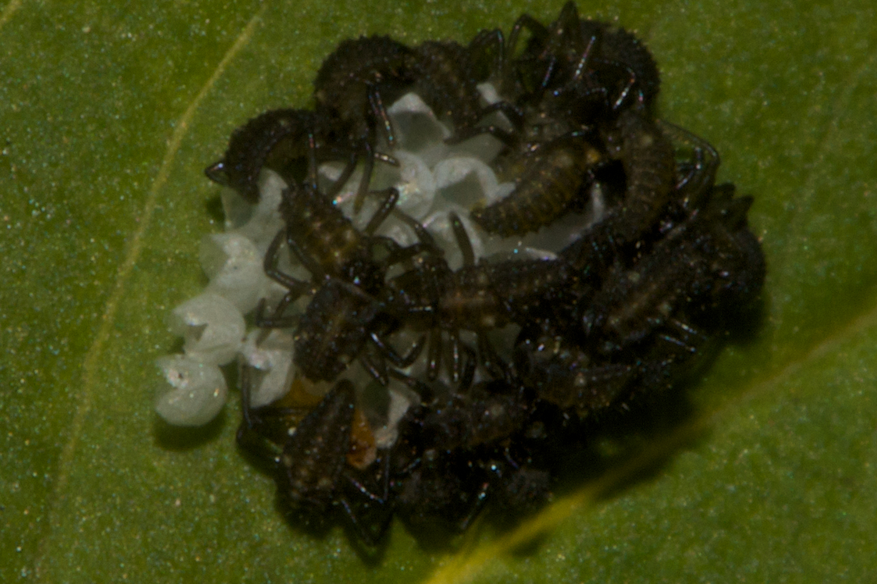 Ladybug larvae emerging from their egg sacks.  All the eggs have hatched except for one that was damaged before the hatching.  The larvae are moving around trying to find a place at the table to feed on their egg casings.