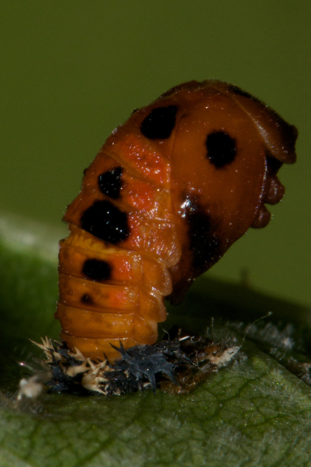 Ladybug pupa now much darker and changing its stance periodically from prone to upright.