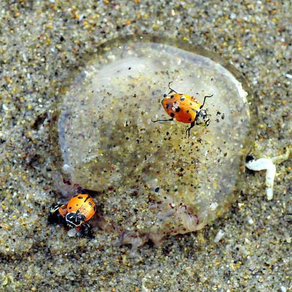 """""""Shock Rock"""" (ladybug climbs over the remains of a jelly fish)"""