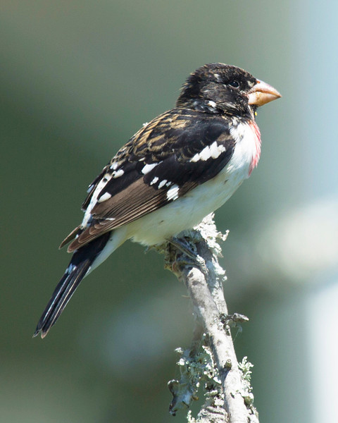 Juvenile Rose-Breasted Grosbeak.