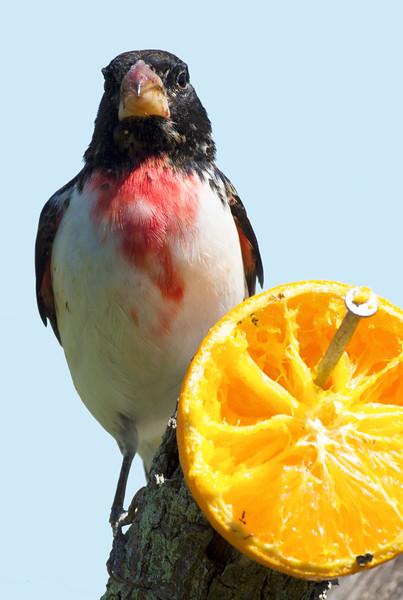 Rose-Breasted Grosbeak owns his orange.