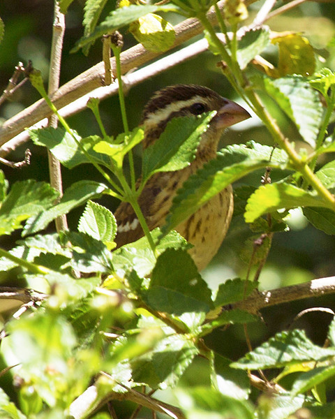 Female Rose-Breasted Grosbeak in the underbrush.