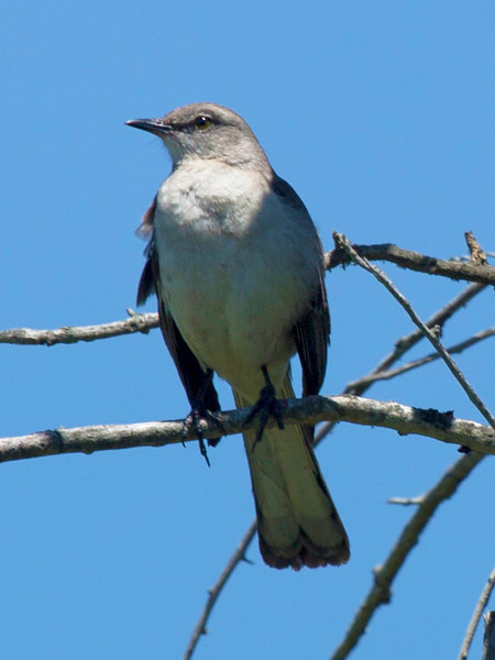 Our old friend the Mocking Bird.