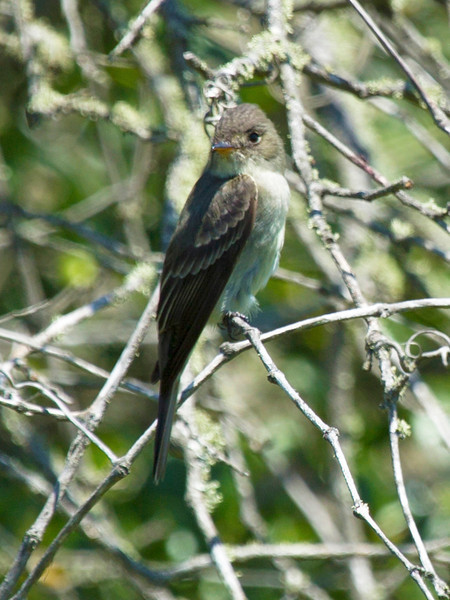 Willow Fly-Catcher in a thicket.
