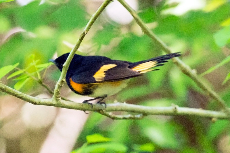 American Redstart -- another look.