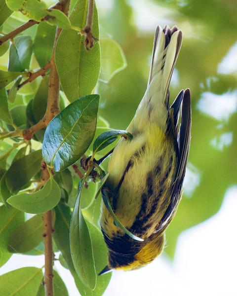 Black-Throated Green Warbler, upside down..