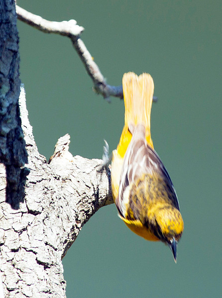 A female Baltimore Oriole, diving off her perch.