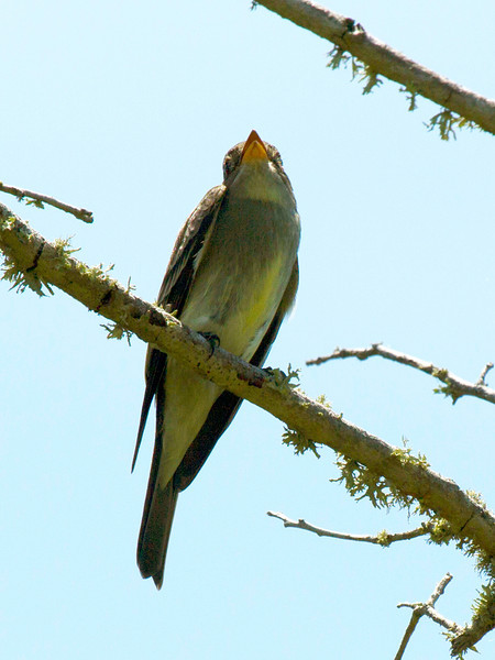 Willow Fly-Catcher seen from beneath.