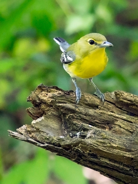 Yellow-Throated Vireo posing on a snag.