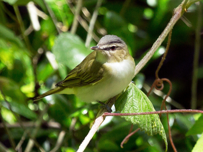 Red-Eyed Vireo on a twig.