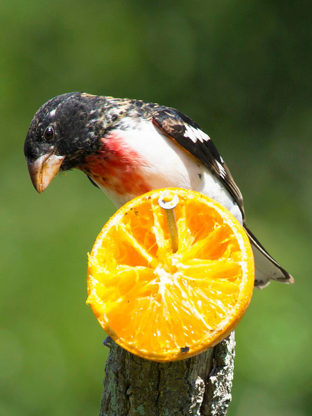 A Rose-Breasted Grosbeak on an orange.