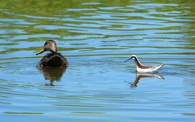 A Blue-Winged Teal with a Wilson Phalarope.