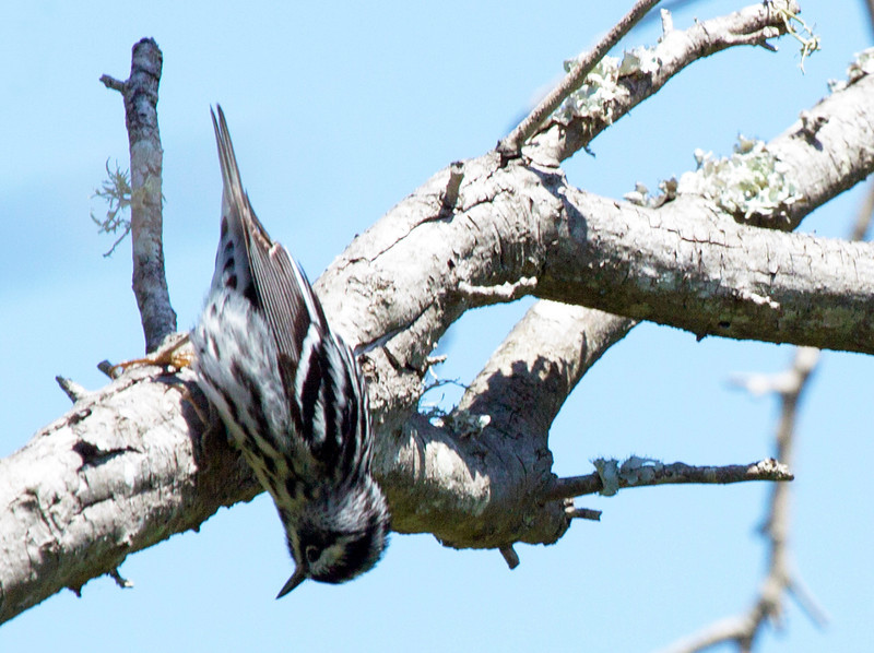 Black and White Warbler looking under a branch.