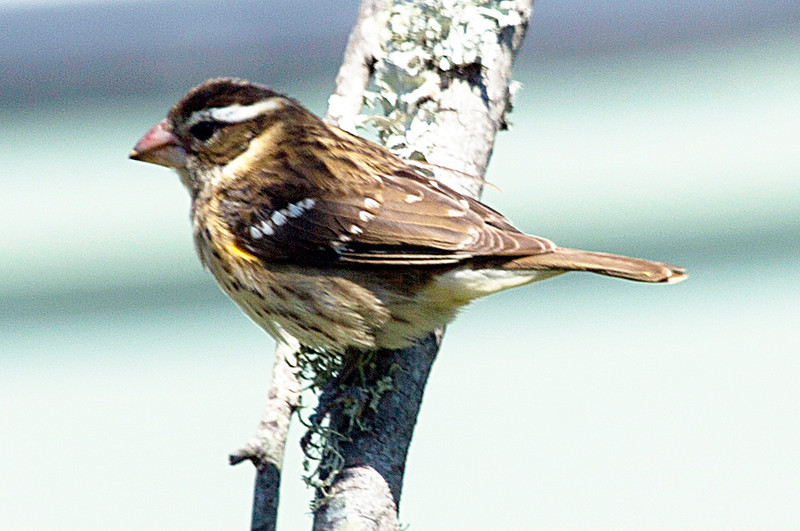 Female Rose-Breasted Grosbeak.