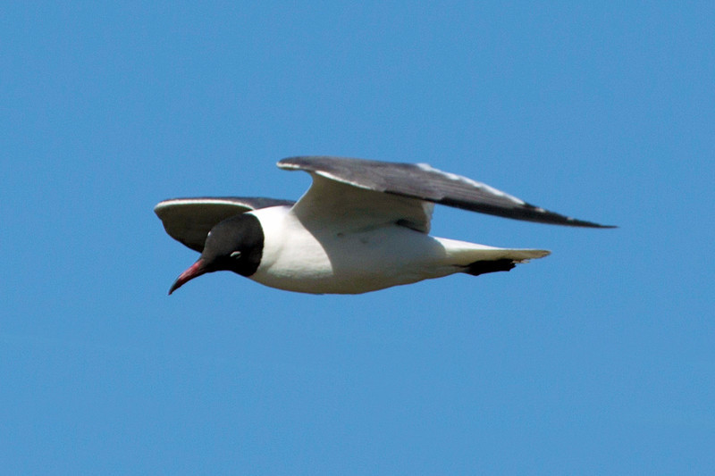 A Laughing Gull overhead.