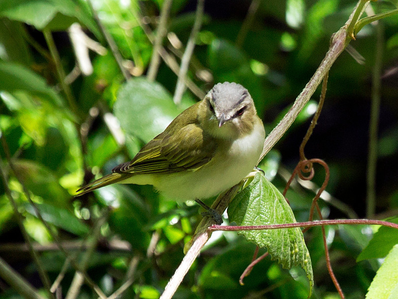 Red-Eyed Vireo studying the photographer.