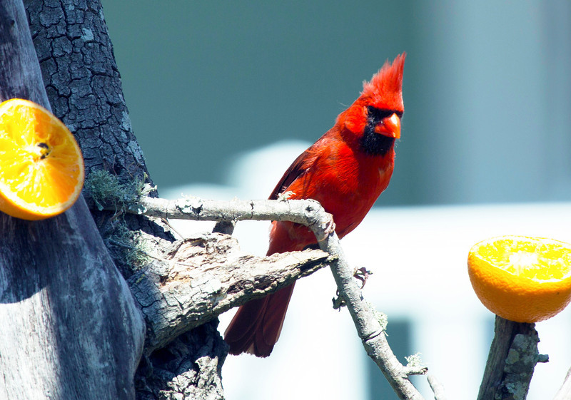 A Cardinal after the oranges.