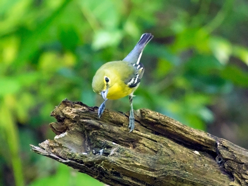 Quizzical Yellow-Throated Vireo on a snag.