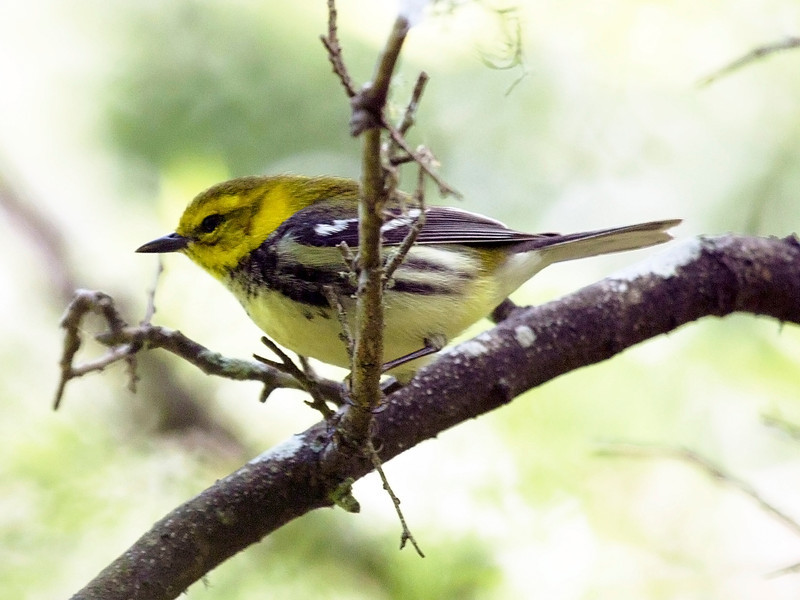 Magnolia Warbler on another branch