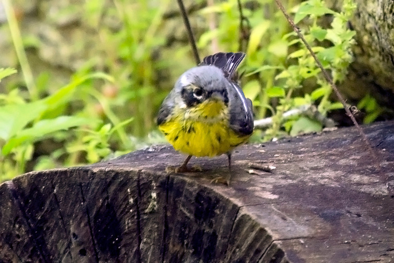 Magnolia Warbler on a stump.