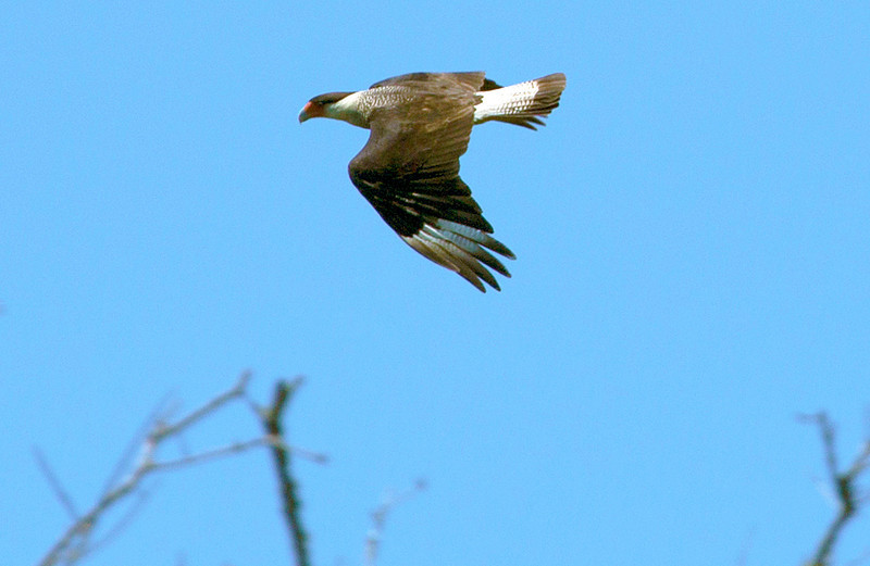 A Caracara circles the Preserve's cover looking for prey.