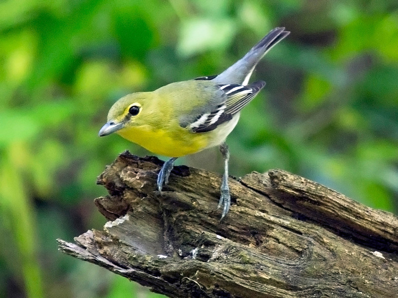 Yellow-Throated Vireo in another pose.