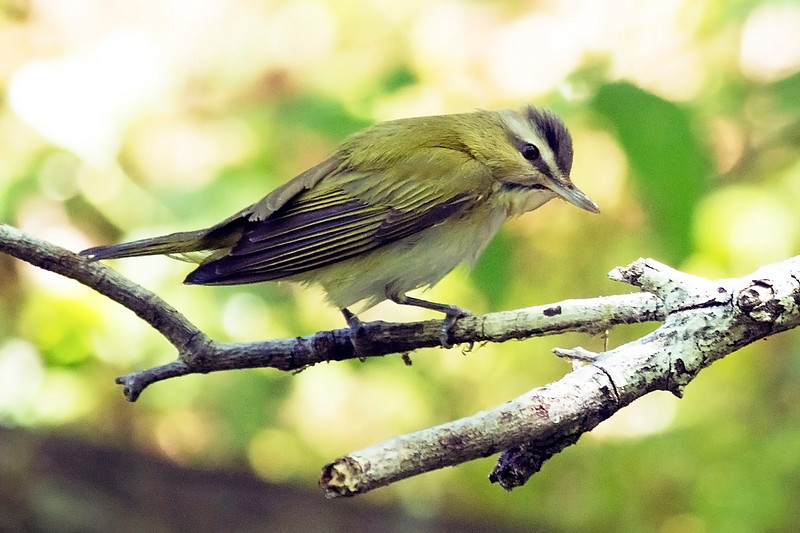 Red-Eyed Vireo walking on a twig.