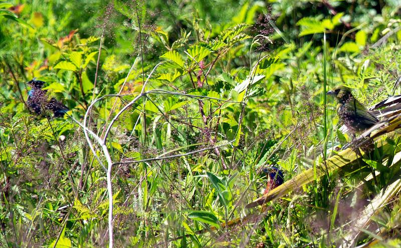 Left, male Indigo Bunting.  Right, female Painted Bunting, Lower middle, male Painted Bunting in the grass