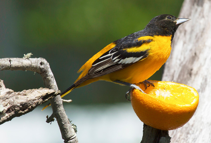 Baltimore Oriole sitting on an orange.