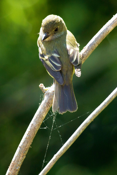 Willow Fly-Catcher looks back at us.