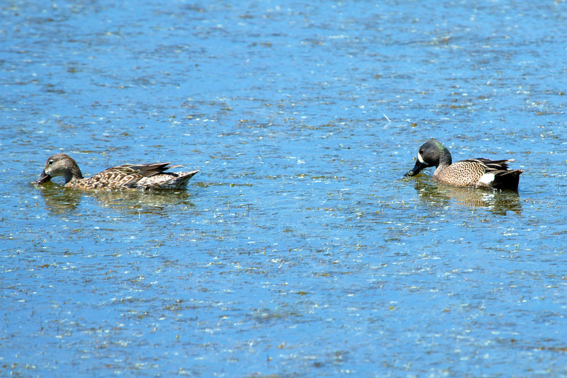 Blue-Winged Teals, Female and Male