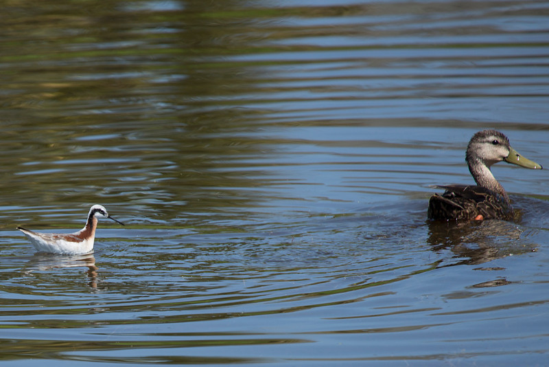 Wilson Phalarope and a Blue-Winged Teal.