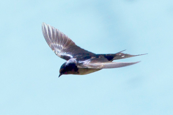 A Mud-Swallow in flight.