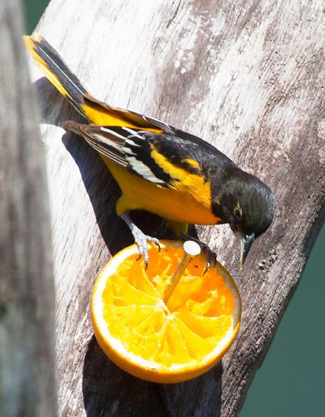 Baltimore Oriole eating an orange