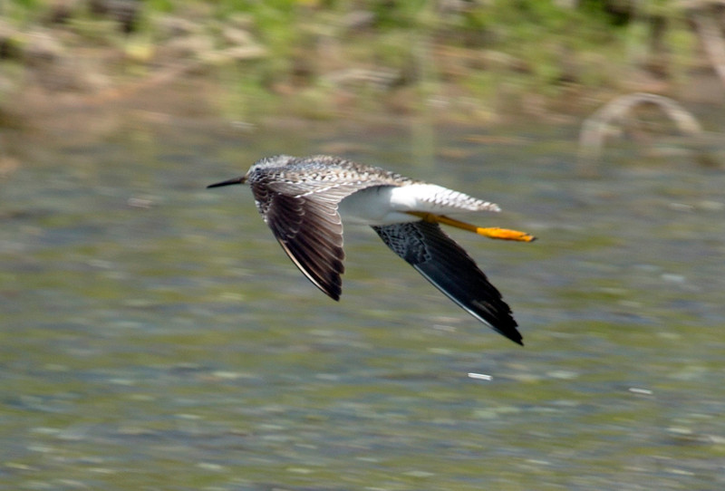 Greater Yellow Legs in flight.