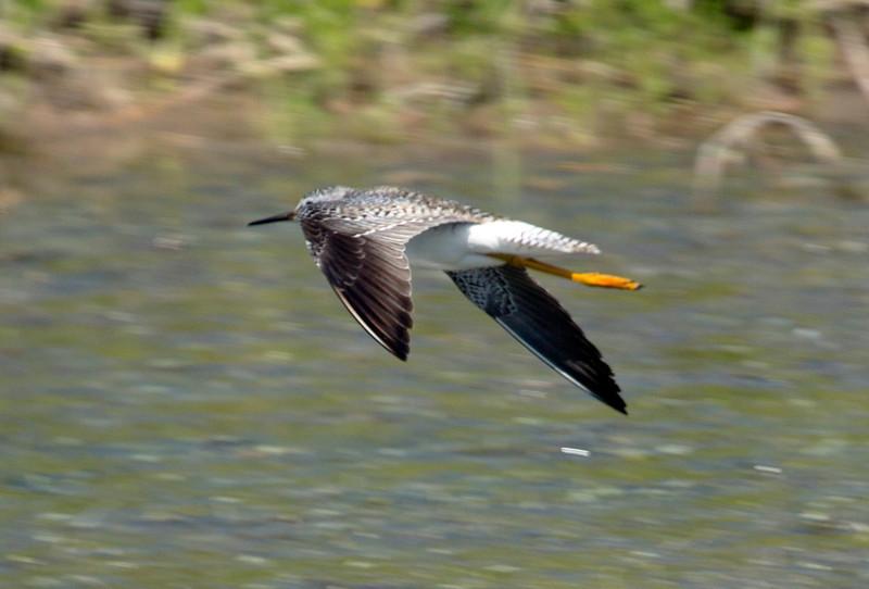 Greater Yellow Legs in flight.