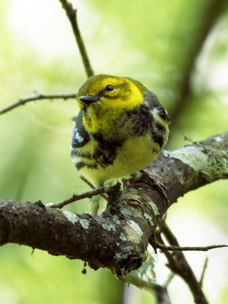 Magnolia Warbler on a branch.