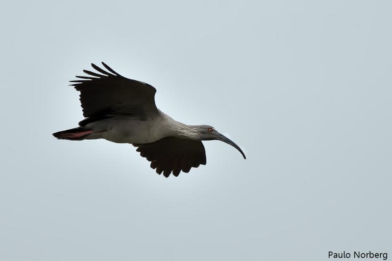 Theristicus caerulescens<br /> Maçarico-real<br /> Plumbeous Ibis<br /> Bandurria mora - Kurukáu hovy