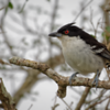 Taraba major<br /> Choró-boi<br /> Great Antshrike<br /> Chororó - Chororo