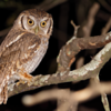 Megascops choliba<br /> Corujinha-do-mato<br /> Tropical Screech-Owl<br /> Lechucita - Kavure