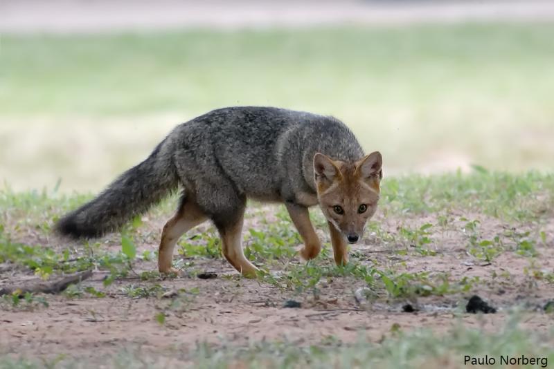 Lycalopex gymnocercus<br /> Graxaim-do-campo<br /> Azara´s Fox<br /> Zorro de Azara - Aguara cha'I