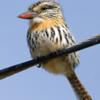 Nystalus striatipectus<br /> Rapazinho-do-chaco<br /> Chaco Puffbird<br /> Chacurú listado - Chakuru