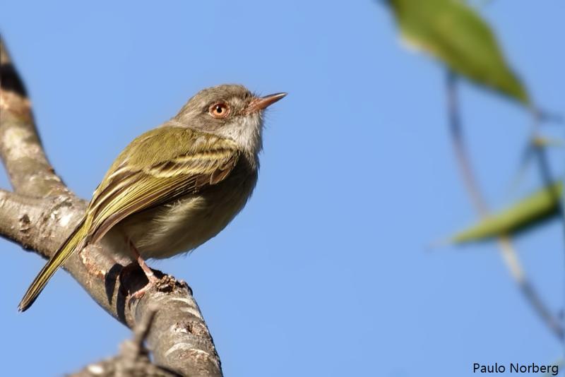 Hemitriccus margaritaceiventer<br /> Sebinho-olho-de-ouro<br /> Pearly-vented Tody-tyrant<br /> Mosqueta ojo dorado - Ñakyra'i