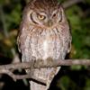 Megascops choliba<br /> Corujinha-do-mato<br /> Tropical Screech-Owl<br /> Lechucita - Kavure