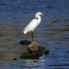 Egretta thula<br /> Garça-branca-pequena<br /> Snowy Egret<br /> Garcita blanca - Itaipyte